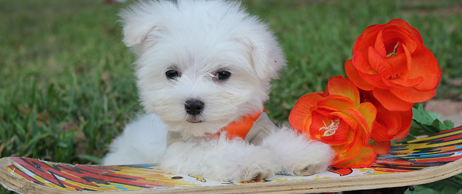 How to Find a Perfect Maltese Puppy