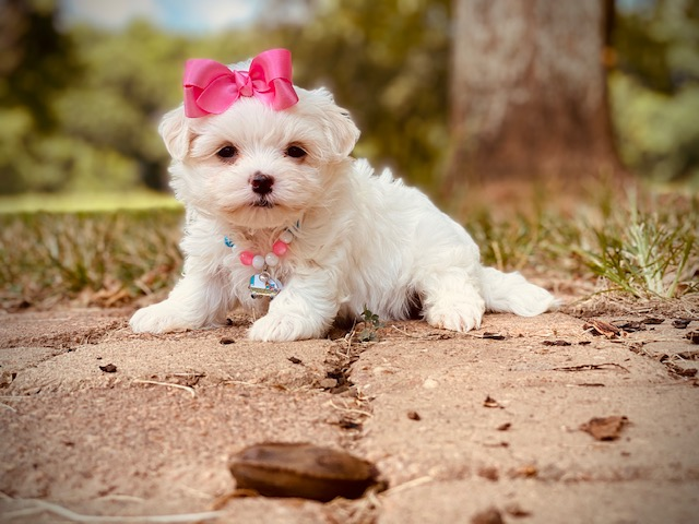 Everything You Need to Know About Maltese Puppies
